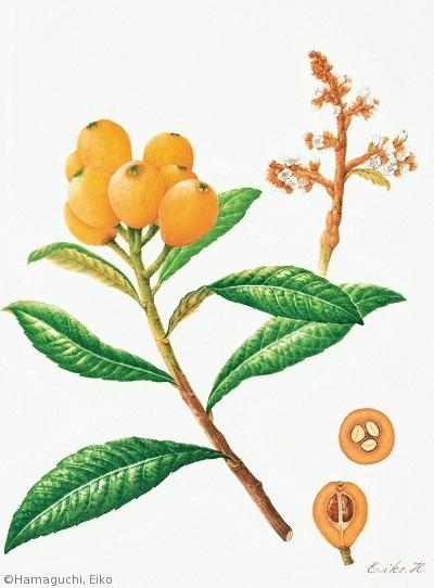 【浜口栄子:ビワ「長崎クイーン」(バラ科)Eriobotrya japonica cv.】