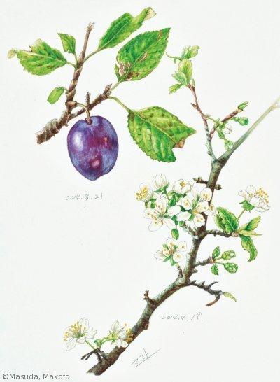【増田まこと:スモモ( バラ科)Prunus salicina cv.】