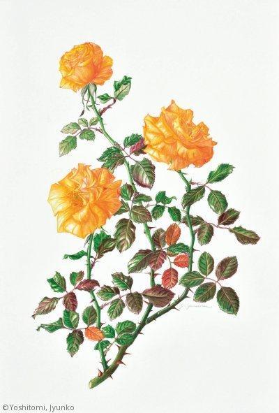 【吉富恂子:バラ(シンギニン ザ レイン)(バラ科)Rosa SINGIN' IN THE RAIN ('MACivy') 】