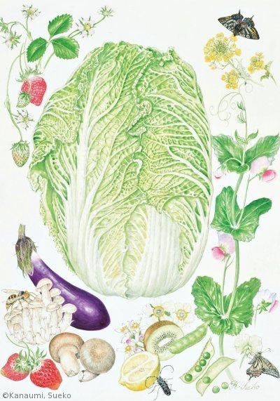 【金海すゑ子:ハクサイと食卓の仲間たち(アブラナ科ほか)Brassica rapa etc. 】