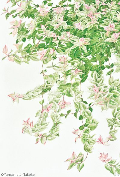 【山本武子:ハツユキカズラ( キョウチクトウ科)Trachelospermum  asiaticumcv.】