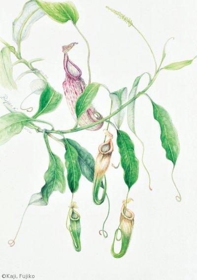 【梶富士子:ネペンテス ラフレシアナ( ウツボカズラ科) Nepenthes rafflesiana】