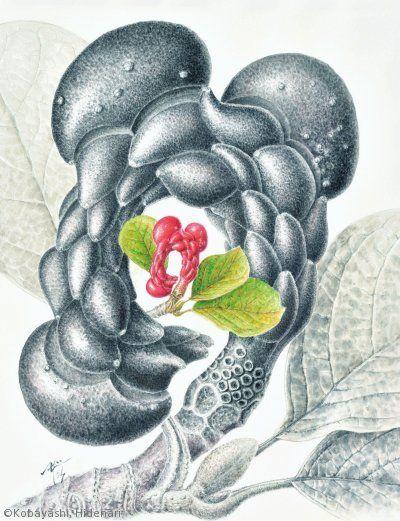 【小林英成:ハクモクレン( モクレン科)Magnolia denudata】