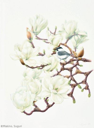 【牧野すぐり:ハクモクレンにコガラ( モクレン科)Magnolia denudata, Poecile montanus】