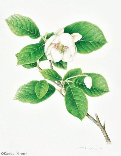 【楓ひろみ:オオヤマレンゲ(モクレン科)Magnolia sieboldii subsp. japonica】