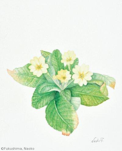 【福島南緒子:プリムラ ウルガリス(サクラソウ科)Primula vulgaris】