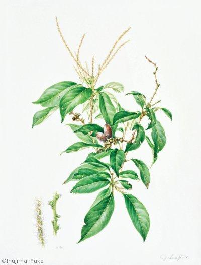 【犬島裕子:シリブカガシ( ブナ科)Lithocarpus glaber】
