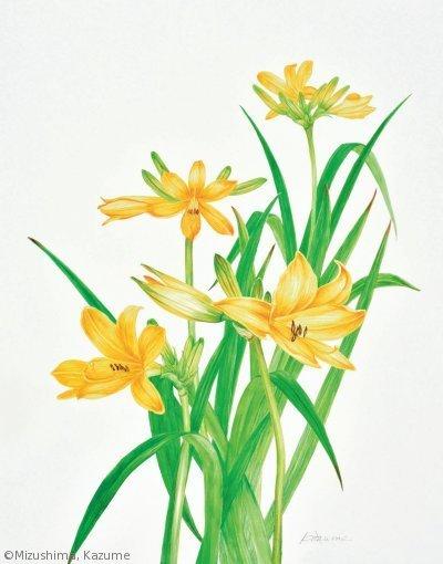 【水島一女:ゼンテイカ(礼文島産)( ワスレグサ科)Hemerocallis dumortierivar. esculenta】