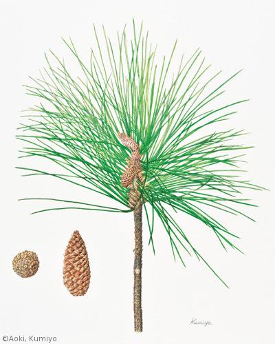 【青木久美代:ダイオウマツ(マツ科)Pinus palustris】