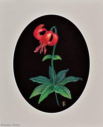 【伊澤禮子:クルマユリ (ユリ科)Lilium medeoloides】