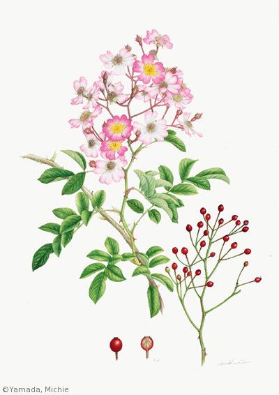 【山田道惠:ツクシイバラ(バラ科)Rosa multiflora var. adenochaeta】