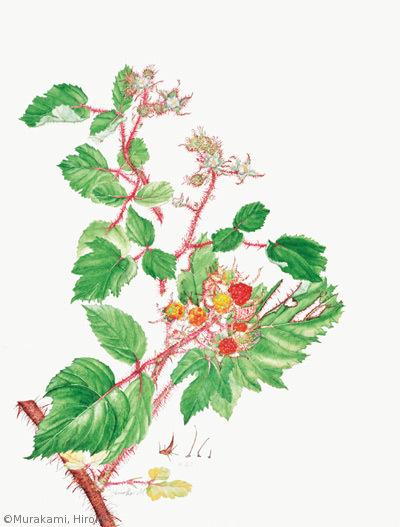 【村上裕子:エビガライチゴ(バラ科)Rubus phoenicolasius】