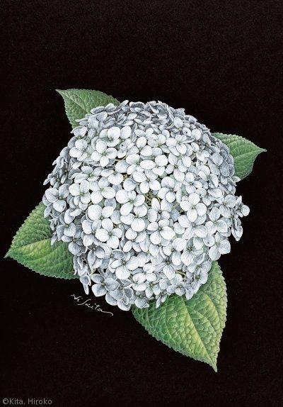 【北博子:アメリカノリノキ 'アナベル' (アジサイ科)Hydrangea arborescens  'Annabelle'】
