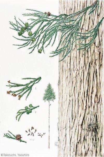 【竹内保博:アシウスギ (ヒノキ科)Cryptomeria japonica var. radicans】