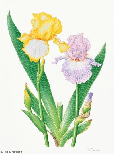 【鳥居ひろみ:ジャーマンアイリス( アヤメ科)Iris hybrid】