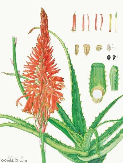 【尾関ちづる:キダチアロエ (ツルボラン科)Aloe arborescens】