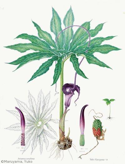 【丸山裕子:ウラシマソウ( サトイモ科)Arisaema thunbergii subsp.urashima】