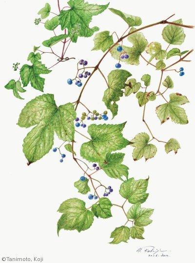 【谷本弘次:ノブドウ( ブドウ科)Ampelopsis glandulosa var.heterophylla】