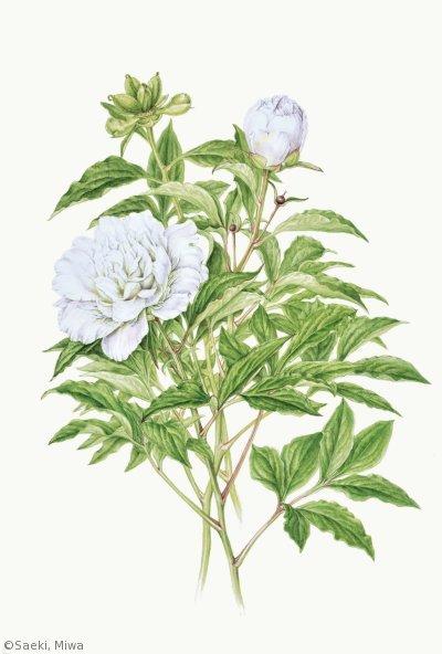 【佐伯美和:シャクヤク '梵天' (ボタン科)Paeonia lactiflora 'Bonten'】