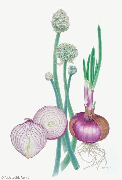 【吉利令子:タマネギ(ネギ科)Allium cepa cv.】