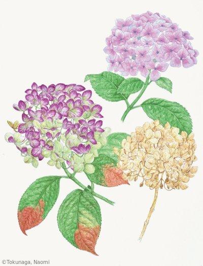【徳永直美:アジサイ(アジサイ科)Hortensia macrophylla (異名 Hydrangea macrophylla)】