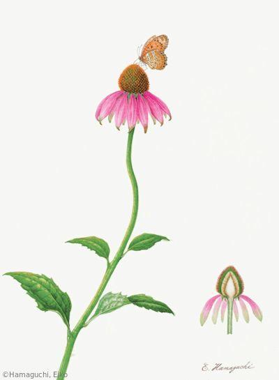 【浜口栄子:ムラサキバレンギク(キク科)Echinacea purpurea】