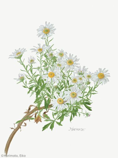 【堀本栄子:ナカガワノギク(キク科) Chrysanthemum yoshinaganthum】