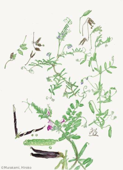 【村上裕子:カスマグサ(上右) 、スズメノエンドウ(上左) 、カラスノエンドウ(下) Vicia tetrasperma, Vicia hirsuta, Vicia sativa】