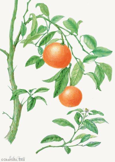 【岡元英香:キトルス '南香' (ミカン科)Citrus 'Nanko' 】
