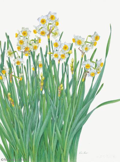 【中根啓子:スイセン(ヒガンバナ科)Narcissus tazetta var. chinensis】