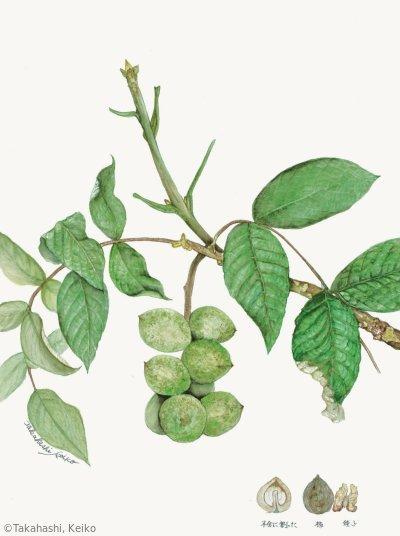 【高橋馨子:オニグルミ(クルミ科)Juglans ailantifolia】
