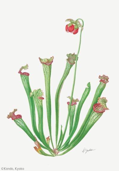 【近藤京子:サラセニア(サラセニア科)Sarracenia】
