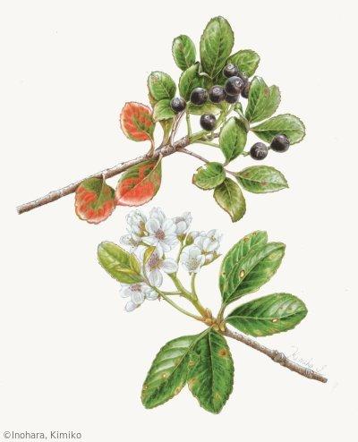 【猪原貴美子:シャリンバイ(バラ科)Rhaphiolepis indica var. umbellata】