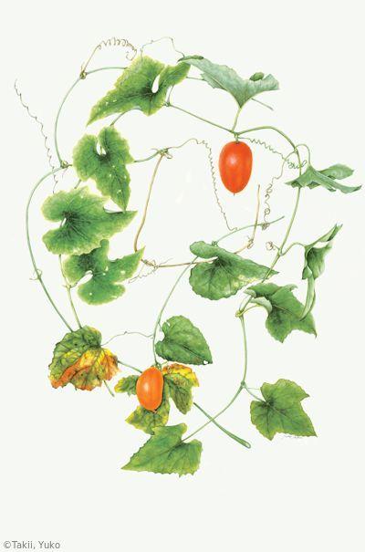 【滝井ゆう子:カラスウリ(ウリ科)Trichosanthes cucumeroides】