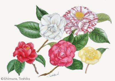【志村稔子:ツバキ類(ツバキ科)Camellia】
