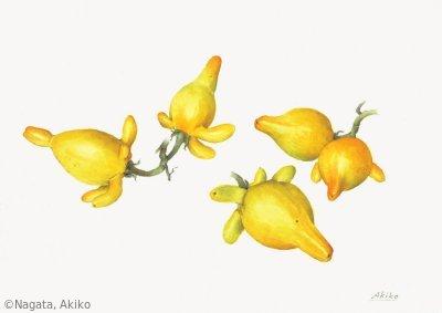 【永田昭子:ツノナス(ナス科)Solanum mammosum】