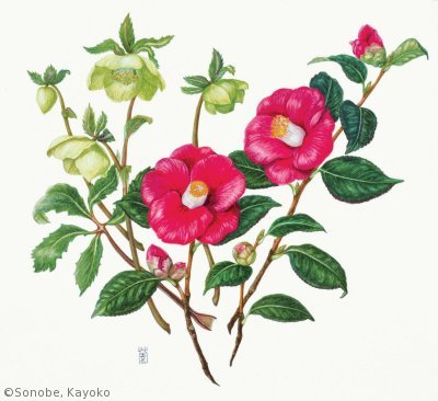 【園部海楊子:ヤブツバキとヘレボルス(ツバキ科、キンポウゲ科)Camellia japonica, Helleborus】