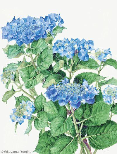 【横山裕三子:ガクアジサイ(アジサイ科) Hortensia macrophylla f. normalis (異名 Hydrangea macrophylla f. normalis) 】