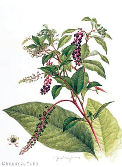 【犬島裕子:ヨウシュヤマゴボウ(ヤマゴボウ科)Phytolacca americana】