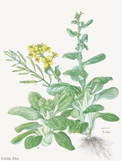 【相田穎子:チンゲンサイ(アブラナ科)Brassica rapa Chinensis Group】