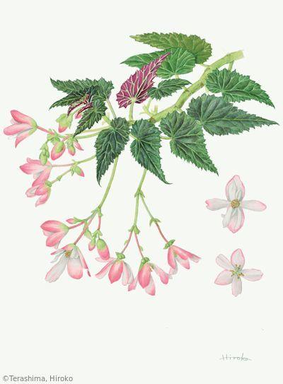 【寺島宏子:ベゴニア ウォーターフォール® エンジェル ソフト ピンク(シュウカイドウ科) Begonia Waterfall® Angel Soft Pink 】