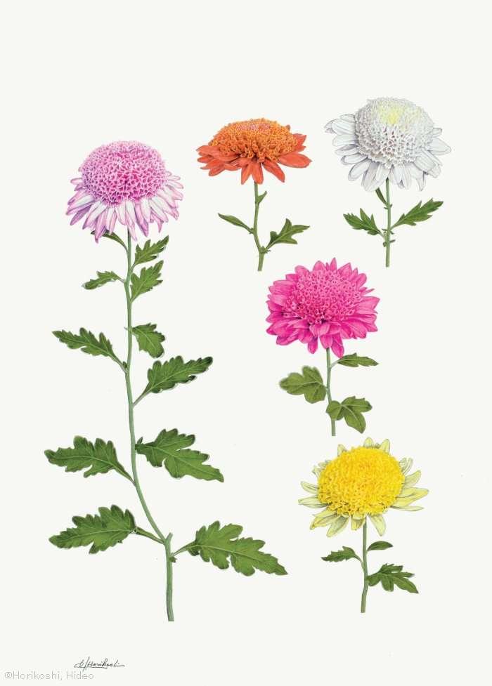 【堀越英雄:チョウジギク (キク科) Chrysanthemum ×morifolium cvs.】