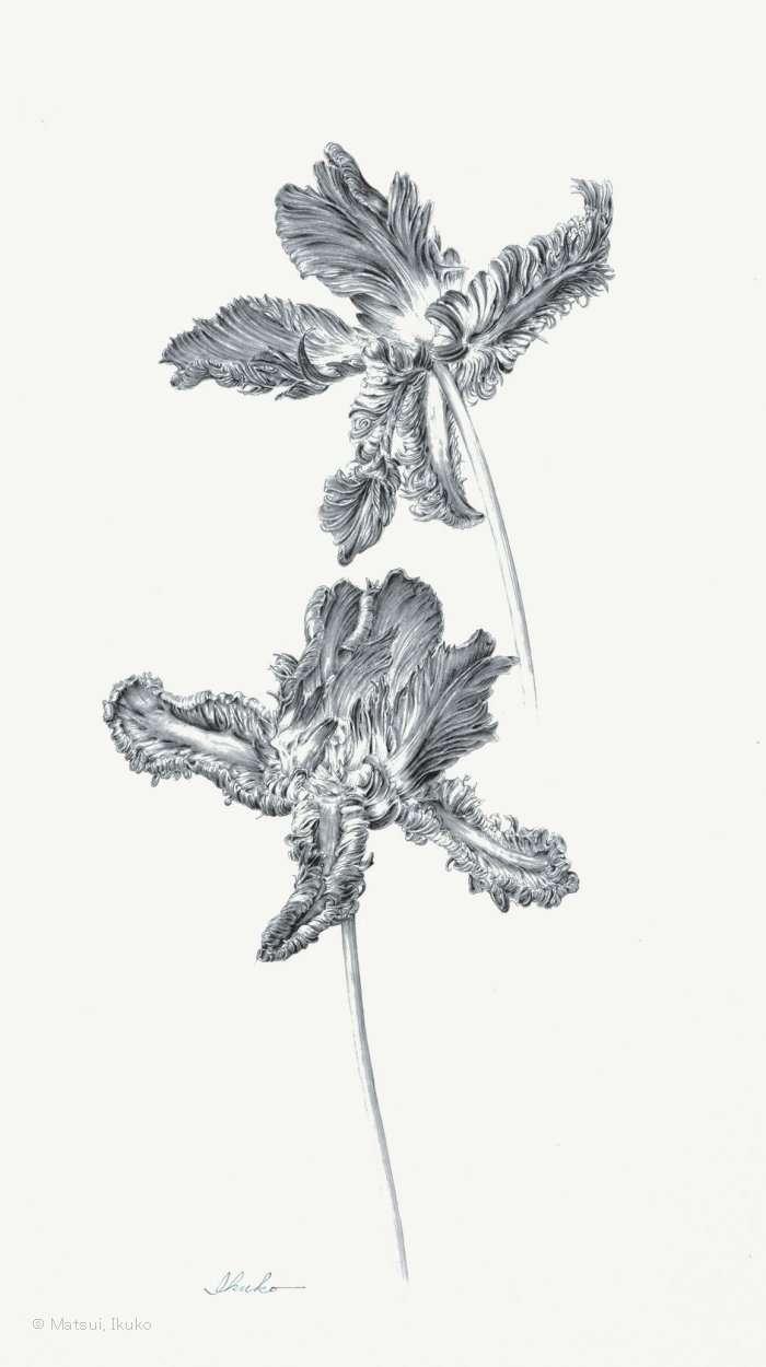 【松井郁子:チューリップ 'ロココ' (ユリ科)  Tulipa'Rococo'】