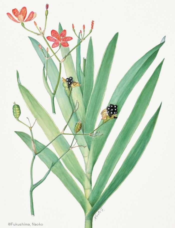 【福島南緒子:ダルマヒオウギ (アヤメ科) Iris domestica cv.】