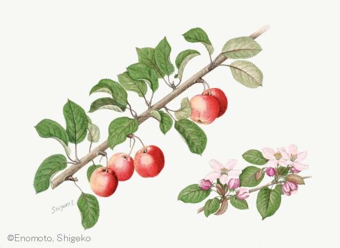 【榎本繁子 :リンゴ属の栽培品種 (バラ科)Malus cv.】