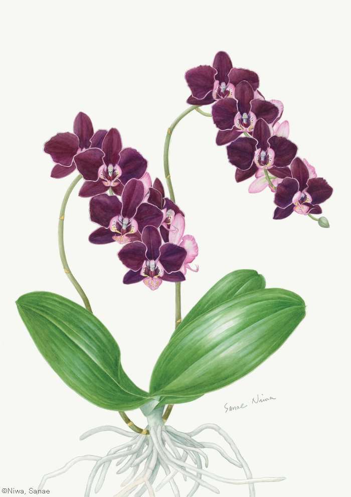 【丹羽早苗:ファラエノプシス タイダ パール (ラン科)Phalaenopsis Taida Pearl】