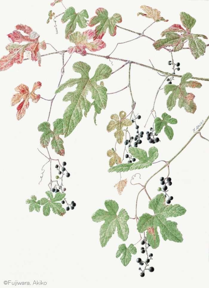 【藤原晶子:エビヅル (ブドウ科) Vitis ficifolia】