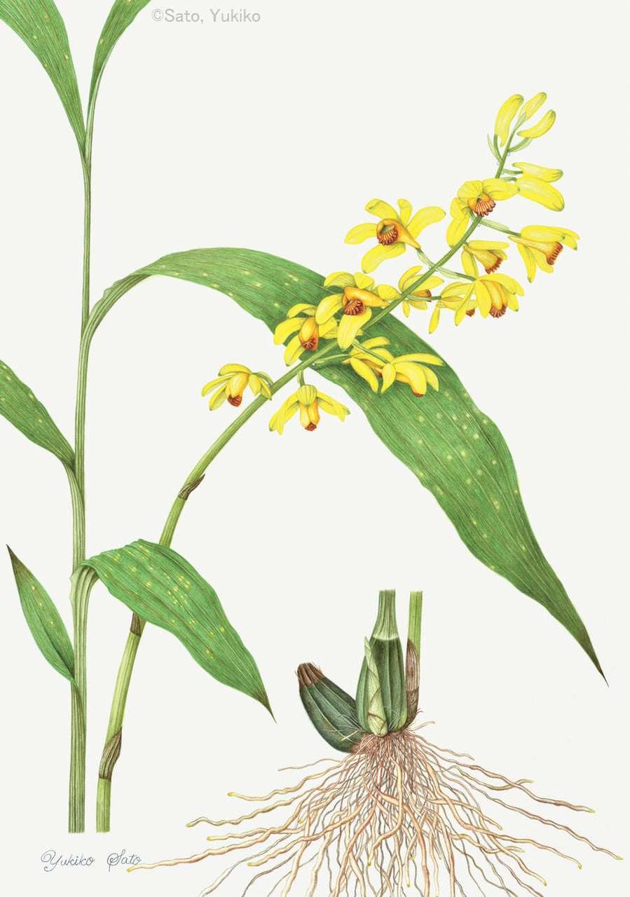 【佐藤由起子:ホシケイラン (ラン科)Phaius flavus f. punctatus】