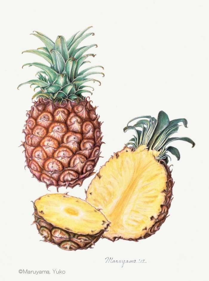 【丸山裕子:パイナップル (パイナップル科) Ananas comosus】