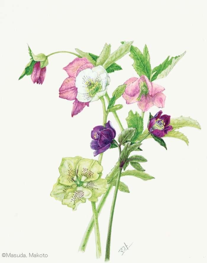 【増田まこと:ヘレボルス (キンポウゲ科) Helleborus ×hybridus cvs.】
